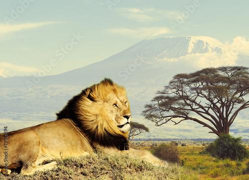 Lion - 79541694