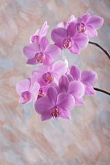 Violet orchid flower (phalaenopsis)