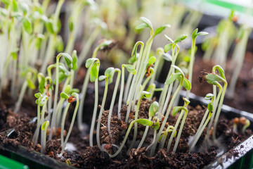 Young seedlings of cress salad in a tray.
