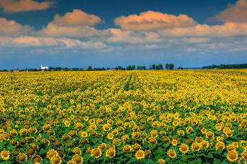 Stunning field of sunflowers and cloudy sky,Buzias,Romania