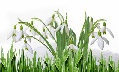 snowdrops in snow isolated on white background
