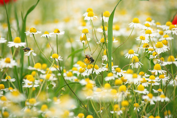 bee on chamomile wild flower springtime