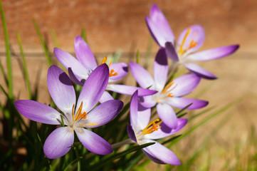 Purple crocus flower in the garden.