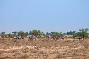 Herd of Oryx gazelle graze at Kalahari Desert, Botswana, Africa