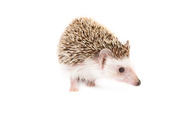 Hadgehog isolated