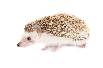 Hadgehog isolated