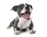 puppy staffordshire bull terrier - 79554628