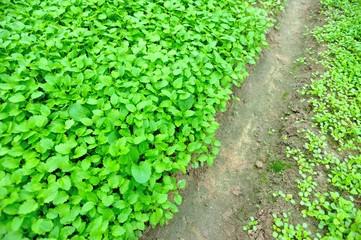 motherwort plants