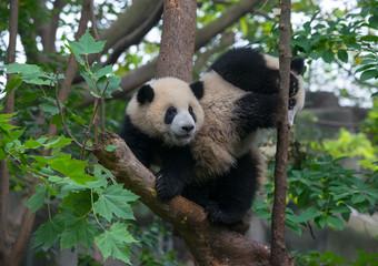 Young panda bears playing in tree