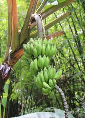 Green bananas plant