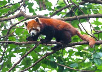 Red panda bear balancing on tree branch
