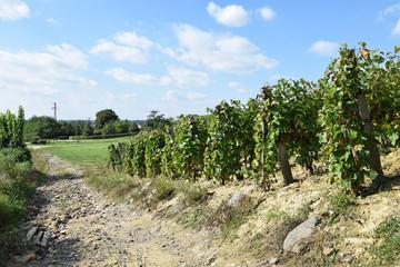 Vineyards in the hill-side near Tokaj city, Hungary