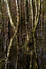 Flooded Birch forest, trees reflected in dark water