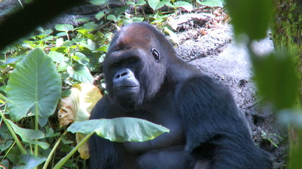 A gorilla resting in the shade on a sunny day.