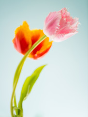 two spring tulips at blue background