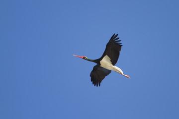 Black stork in blue sky