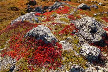 autumn highland plants background in Norway Gamle Strynefjellsve