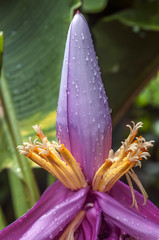 Flower and ovary on the banana plantation after tropical warm sh