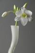 eucharis in weißer vase vor grauem hintergrund