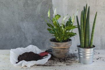 Calla and sanseveria plants in pots, recently planted