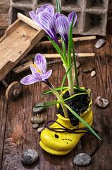 Purple striped Crocus in the shoe
