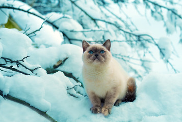 Siamese kitten sitting on snowy tree