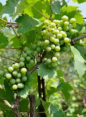 view of unripe grapes