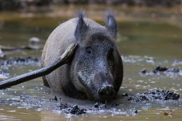 Wildschwein in der Sule