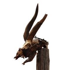 antelope skull