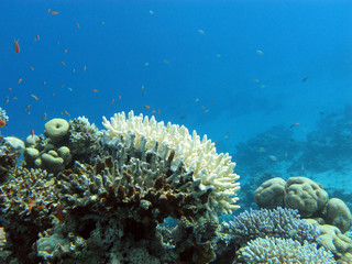 coral reef with white stony coral - underwater