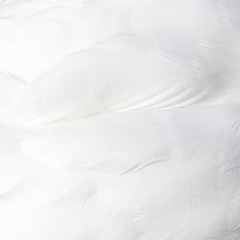 background of white swan feathers