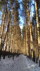 Pine bosk