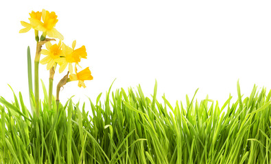 Narcissus and grass background