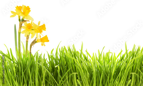 Papiers peints Narcisse Narcissus and grass background