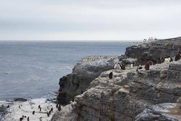 Rockhopper Penguins (Eudyptes chrysocome)