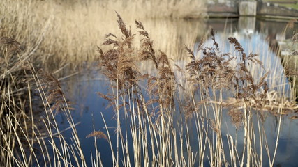 Canal side grasses moving in a breeze in Birmingham city centre.