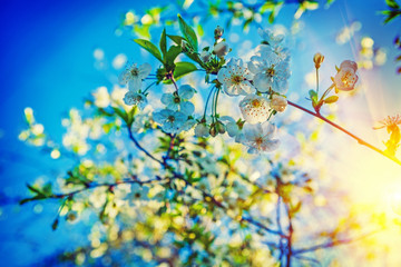 view on blossoming of cherry tree and sunrise floral background