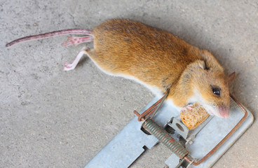 Mouse in the trap.