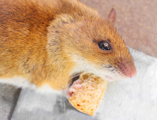 The mouse with her cheese. Close up with shallow DOF