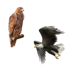 golden american bald eagle, Aquila chrysaetos, orel in flight