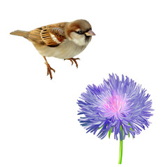House Sparrow and blue purple flower. Isolated on white