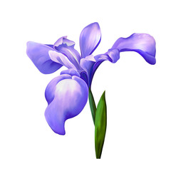 Purple iris flower, blossom with bud on a white background.