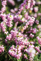 Blooming heathers with blured background