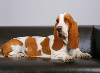 dog of Basset-haund lies on sofa
