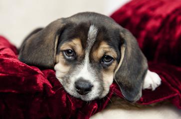 Closeup Beagle Puppy