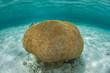 Brain Coral in Caribbean Sea