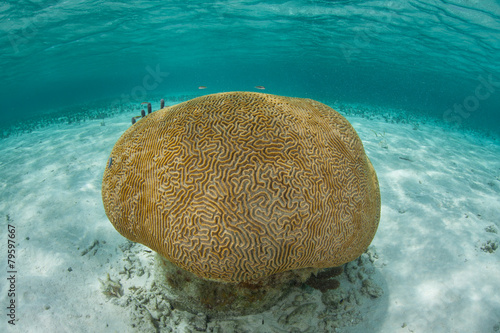 Papiers peints Sous-marin Brain Coral in Caribbean Sea