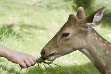 Feeding spotted deer in Bardia, Nepal