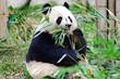 Giant Panda Eating Bamboo, Chengdu. China.
