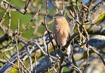 A Cooper's Hawk perched on a tree limb